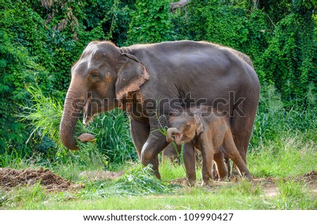 Thai mother elephant and calf eating vegetation in the At the Elephant Village Kanchanaburi, Thailand.