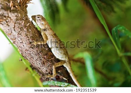 Thai native lizard or chameleon - stock photo