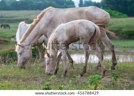 THAI NGUYEN, VIETNAM, April 6, 2016 horses eat grass, prairie Ba Van, Thai Nguyen Province, Vietnam