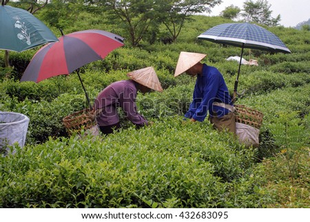 THAI NGUYEN, VIETNAM, May 14, 2016 FG, special tea growing areas, harvests