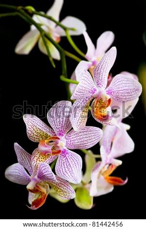 svensk free orkide thai