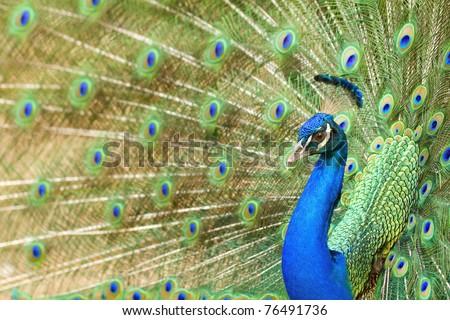 thai peacock - stock photo