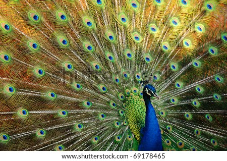 Thai Peacock spread the tail feathers. - stock photo