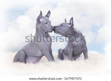 Thai ridgeback puppies against blue sky with clouds. Two months old   - stock photo
