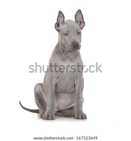 Thai ridgeback puppy isolated on white, two months old  - stock photo
