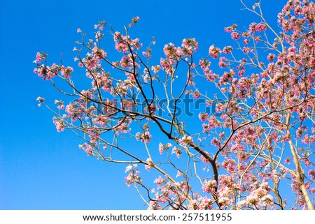 Thai sakura blooming in winter