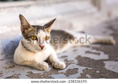 Thai stray cat - stock photo