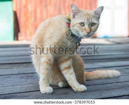 Thai style cat sitting on old wooden floor and looking away - stock photo