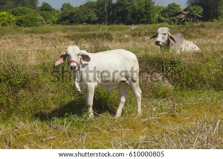 thai white cow, animal mammal