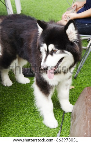 Thai women use dog leash bring dog breed alaskan malamute giant walking relax at outdoor in Bangkok, Thailand