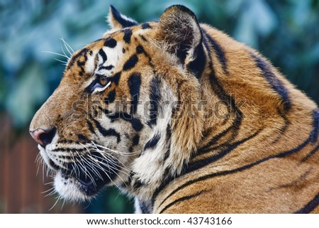 Thailand, Bangkok, Bangkok zoo, Bengal tiger (Panthera tigris) - stock photo