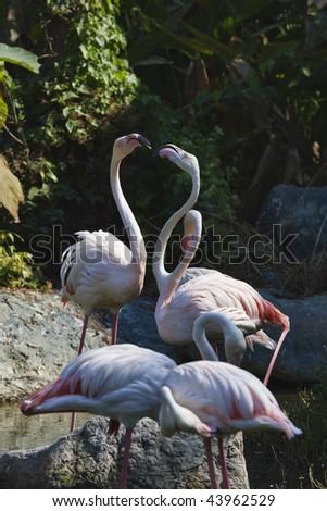 Thailand, Chang Mai, Chang Mai zoo, Flamingos (Phoenicopterus ruber) - stock photo