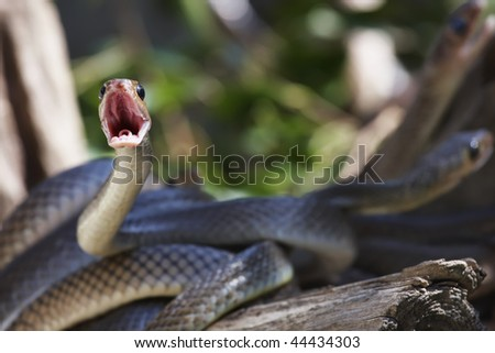Thailand, Chiang Mai, countryside, snakes on tree branch - stock photo