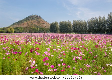 THAILAND - December 21: Cosmos field with mountain and blue sky background on December 21, 2015 in the northeast part.. - stock photo