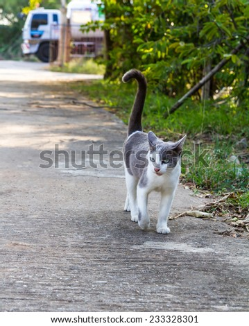 Thailand gray and white cat walking on a paved road with trucks. - stock photo