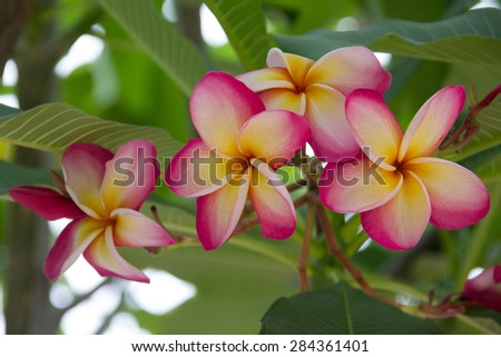 Thailand native pink colour with yellow pollen Plumeria fragant flowers on the tree