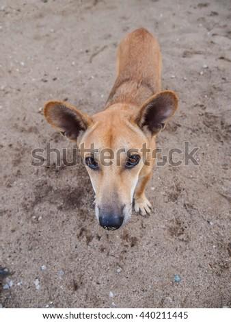 Thailand Ridgeback breed brown dog , dog staring at camera - stock photo