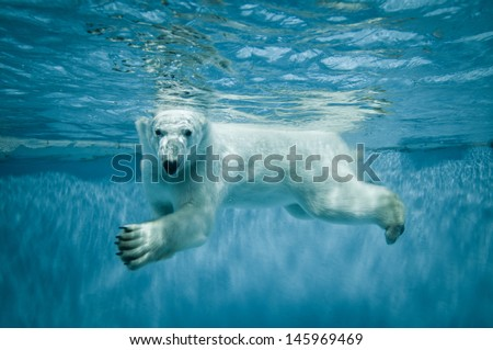 Thalarctos Maritimus (Ursus maritimus) commonly known as Polar bear swimming under water - stock photo