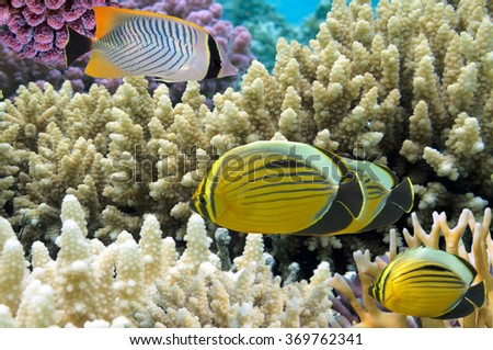 Thalassoma Klunzingeri and Polyp Butterflyfish - stock photo
