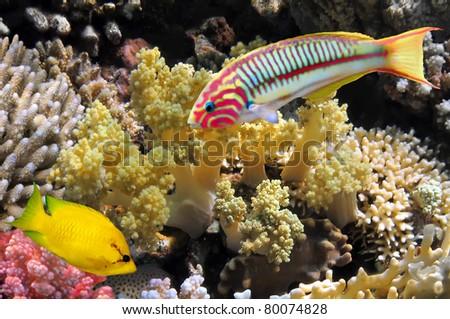 Thalassoma Klunzingeri (Klunzinger's Wrasse) and Coral rabbitfish (siganus corallinus) - stock photo