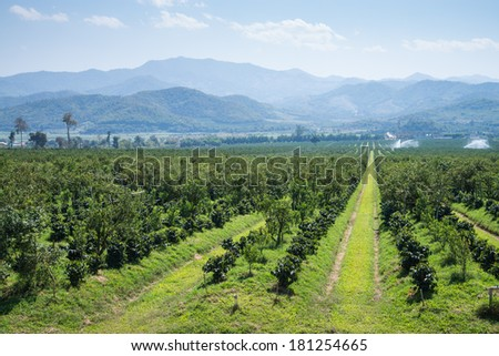Thanatorn orange farm locate at Chiangmai,Thailand - stock photo