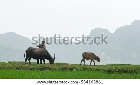 THANH HOA, Vietnam, September 26, 2016 men, Thanh Hoa Vietnam countryside, raising buffalo, which fields