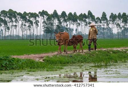 THANH HOA, Vietnam, September 18, 2015 women, Thanh Hoa province, livestock cow herd