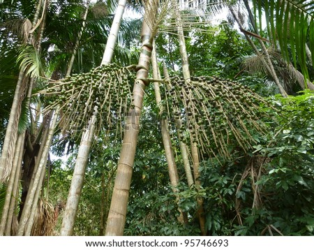 The açaí palm (Euterpe oleracea) is a species of palm tree in the genus Euterpe cultivated for their fruit and superior hearts of palm. Amazonia - Brazil