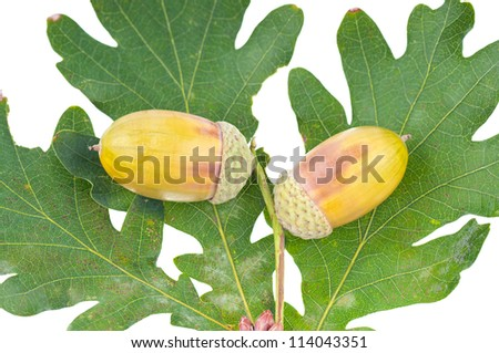 The acorns on the white background .