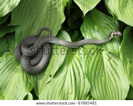 The adder on the green leafs.
