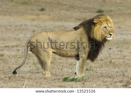 The Addo Park Pride Male stands and looks across his vast territory - stock photo