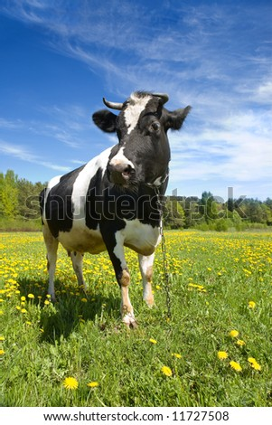 The adult black-and-white cow stands on a green grass with yellow flowers - stock photo