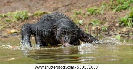 The adult Bonobo drink water in the pond. The Bonobo ( Pan paniscus), called the pygmy chimpanzee. Democratic Republic of Congo. Africa