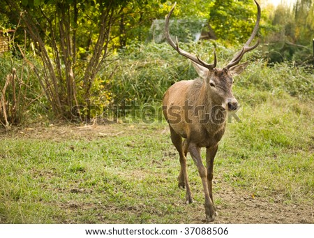 The adult deer with the big horns moves on the photographer