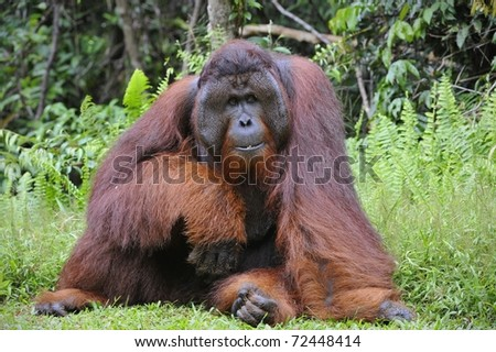 The adult male of the Orangutan. Portrait of the adult male of the orangutan in the wild nature. Island Borneo. Indonesia. - stock photo