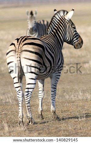 The adult zebra turned the back and observes