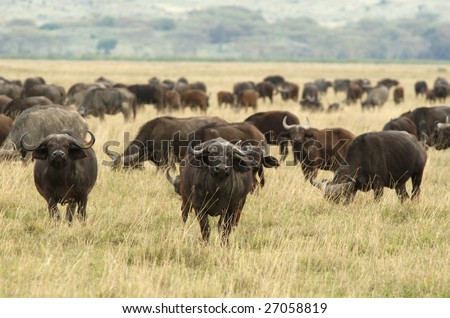 The African Buffalo or Cape Buffalo is a large African mammal - stock photo