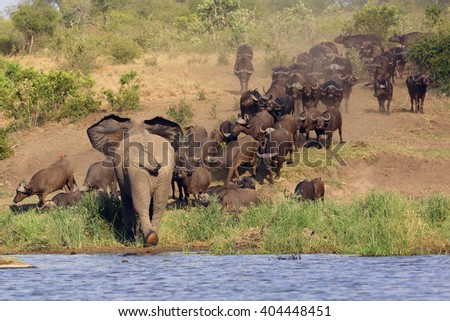 The African bush elephant (Loxodonta africana) attacking a herd of buffalo african buffalo or Cape buffalo (Syncerus caffer) on the bank of the lagoon - stock photo