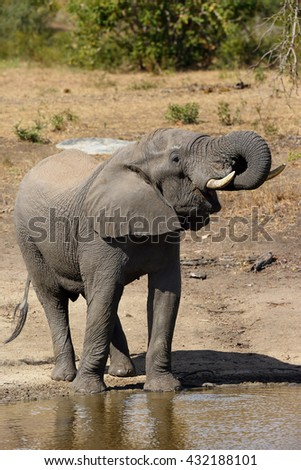 The African bush elephant (Loxodonta africana) drinking from the waterhole with falling water drops - stock photo