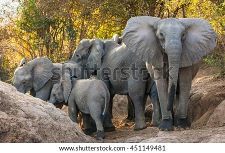 The  African bush elephants (Loxodonta africana). Sunset Light. Zambia  - stock photo