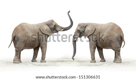 The African Elephant (Loxodonta africana) on a white background.  - stock photo