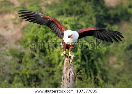 The African Fish Eagle (Haliaeetus vocifer) stands perched with a FISH in its talons, wings spread on a tree stump near the Kazinga Channel in Uganda, Africa - stock photo