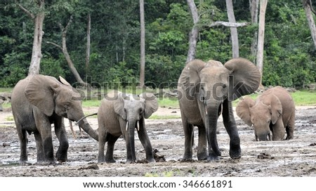The African Forest Elephants, Loxodonta africana cyclotis, (forest dwelling elephant) of Congo Basin. At the Dzanga saline (a forest clearing) Central African Republic, Sangha-Mbaere, Dzanga Sangha - stock photo