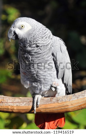 The African Grey Parrot (Psittacus erithacus), also known as the Grey Parrot, is a medium-sized parrot found in the primary and secondary rainforest of West and Central Africa. - stock photo