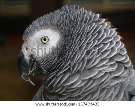 The African Grey Parrot (Psittacus erithacus), also known as the Grey Parrot, is a parrot found in the primary and secondary rainforest of West and Central Africa.  - stock photo