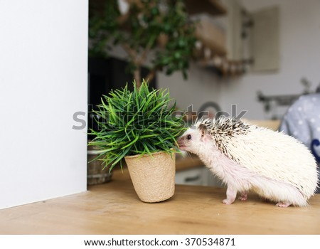 The African hedgehog plays with a green flower which raising in a pot. - stock photo