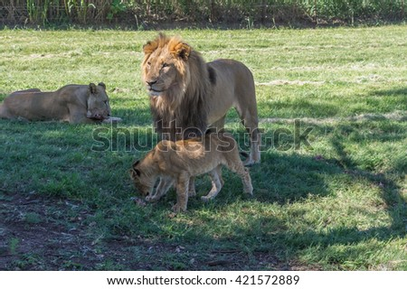 The African Lion is the top predator in the African wilderness - stock photo