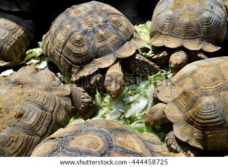 The African spurred tortoise, also called the sulcata tortoise,is a species of tortoise in outdoor sunny lighting hardlight and dark shadow contrasts. - stock photo