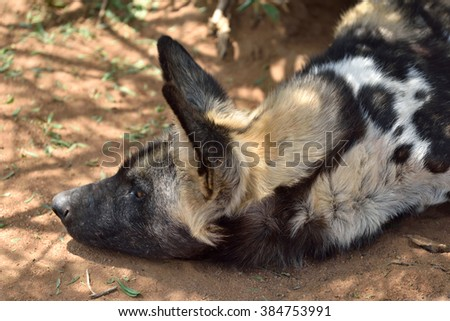 The African Wild Dog resting under bush, Namibia - stock photo