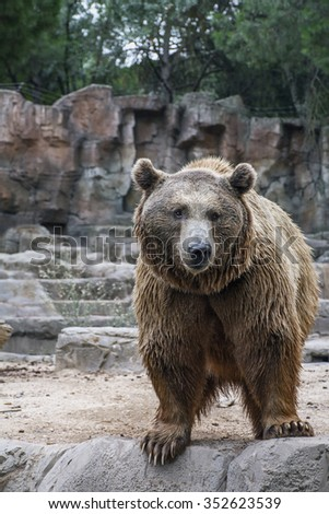 The aggressive brown bear is standing in the forest